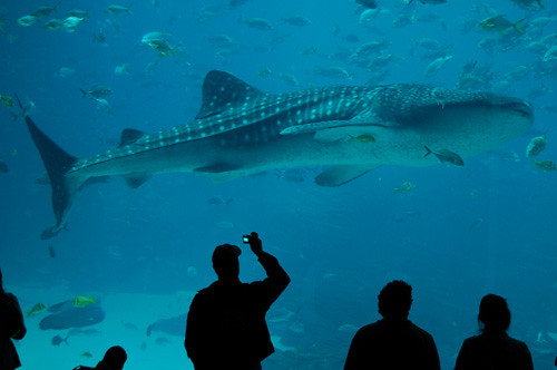 Georgia Aquarium whale shark | Flickr - Photo Sharing!